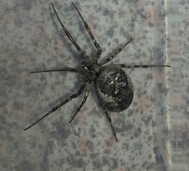 Steatoda Nobilis false black widow