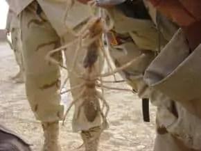 scorpion spider iraq