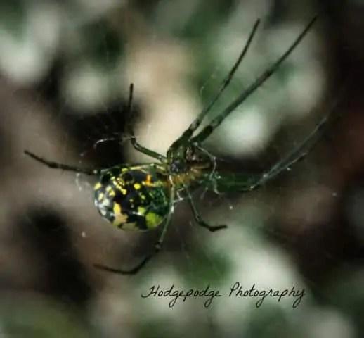 Venusta Orchard Spider closeup
