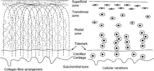 Collagen fiber arrangement in normal and diseased