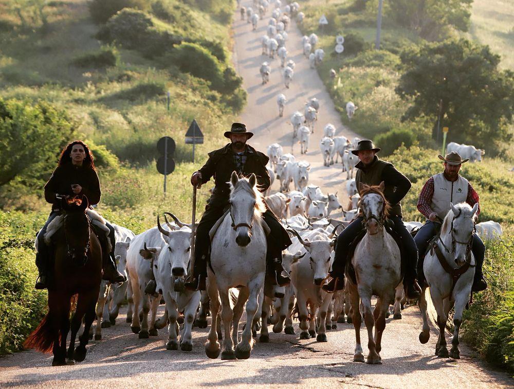mandria di mucche durante la transumanza, con quattro cavalli e cavalieri