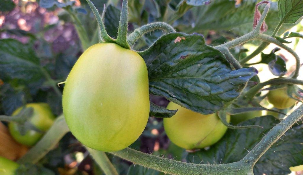 Pomodoro per salsa in fase di maturazione