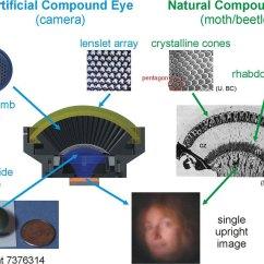 Diagram Of Artificial Eye Bosch Oxygen Sensor Wiring Spilab Compound Camera Superposition Eyes