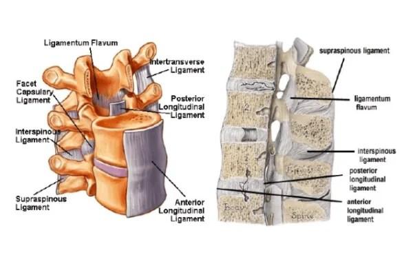 Cervical Spine Bone Anatomy
