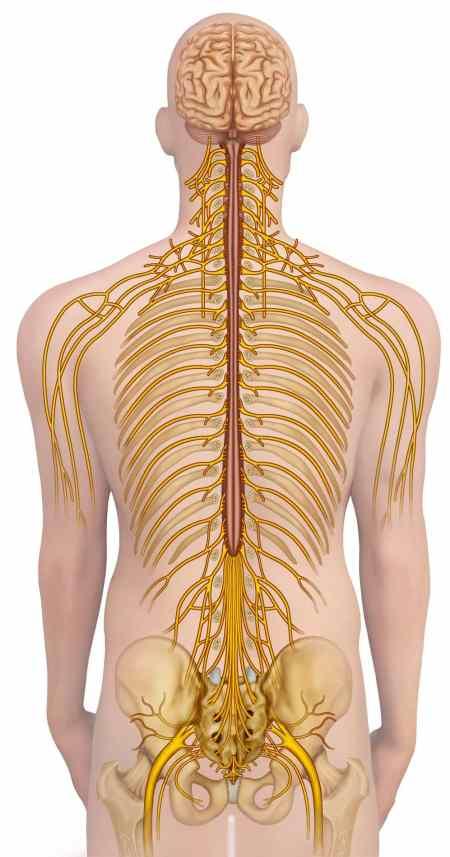 Moelle épinière et cerveau système nerveux central (rouge) et système nerveux périphérique (jaune)