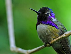 hummingbird amazing facts