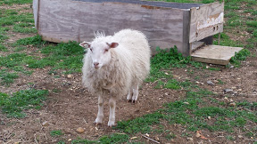 Q april 2015, right before shearing