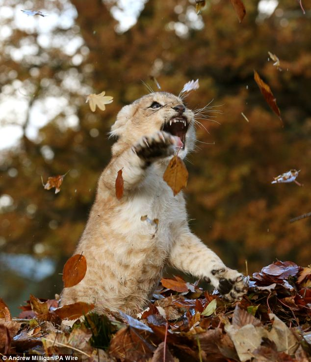 Lion Cub Karis playing in leaves at Blair Drummond Safari Park (8)