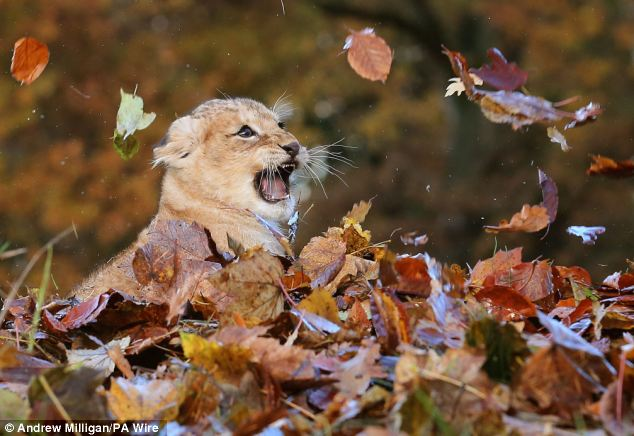 Lion Cub Karis playing in leaves at Blair Drummond Safari Park (7)