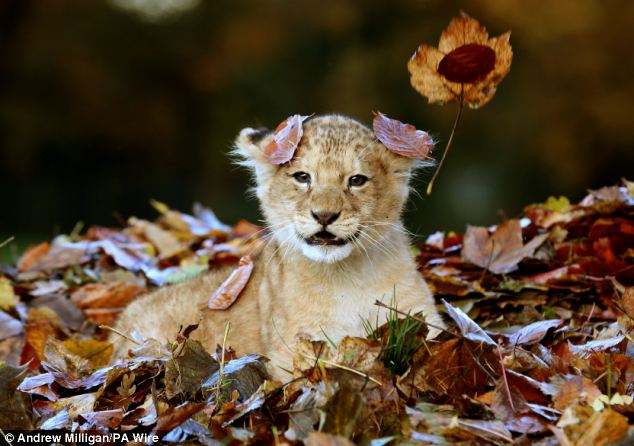 Lion Cub Karis playing in leaves at Blair Drummond Safari Park (3)