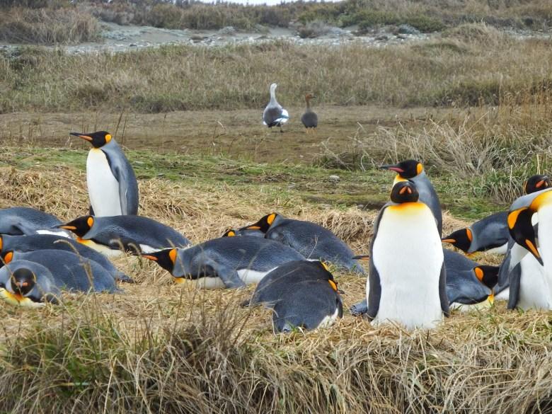 king penguin colony in tierra del fuego at parque pinguino rey