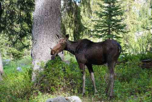 moose in forest in grand teton national park