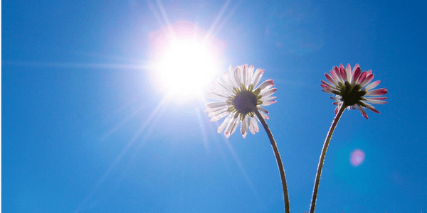 Summer sun with daisies, photo by Mooganic