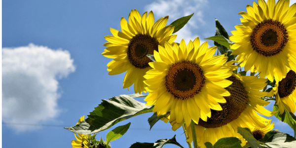 Sunflowers, photo by Karsun Designs