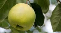Golden Apple, photo by Chris Parfitt