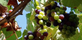 Grapes, photo by Sergio Russo