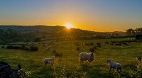 Lambs in the sun, photo by Andy Rothwell