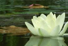 Lotus, photo by Carlos Alberto Silva