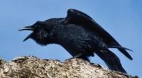 Raven, photo by Doug Brown