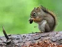 squirrel symbolism squirrel meaning