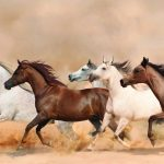 Arabian Horse Symbolism Dreams And Messages Spirit Animal Totems