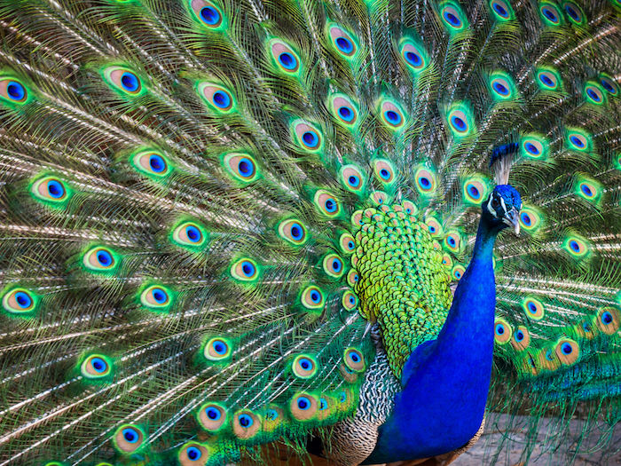 peacock spirit animal spirit
