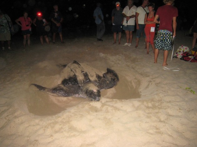 Lots more 'once in a life time' experiences (Leatherback turtle laying eggs in Grenada)