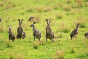 Wild Kangaroos on Hunter Valley Tour