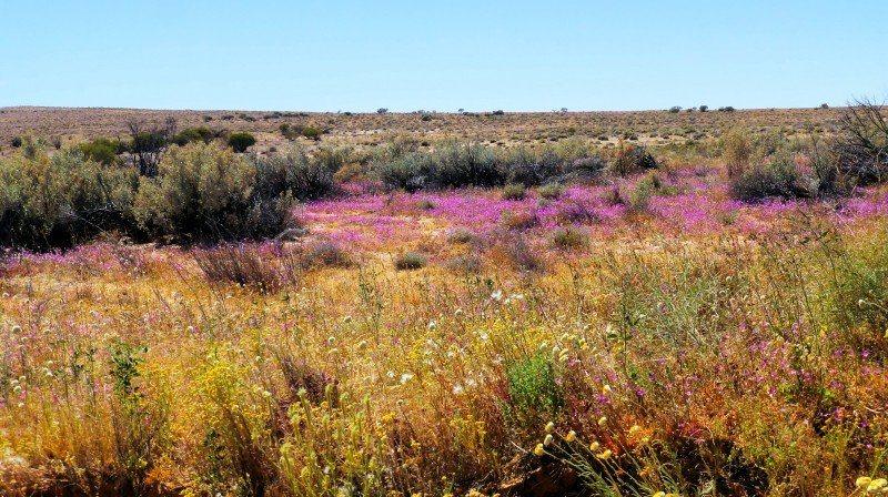 Simpson Desert wildflowers tours