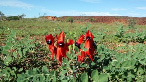 sturts-desert-pea-wildflower-tour150904