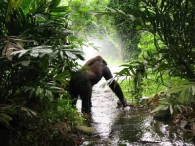 gorilla-61136_640