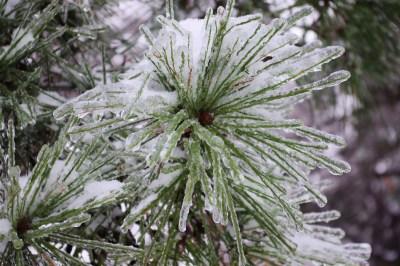 iced-pine-needles-3602071_1920
