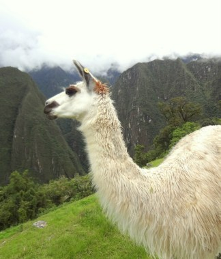 Llamas wander amid the ruins of Machu Picchu. (Lori Erickson photo)