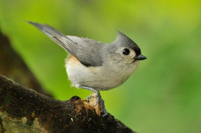 A tufted titmouse (Wikimedia Commons image)