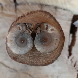 Ammoniet - Fossiel