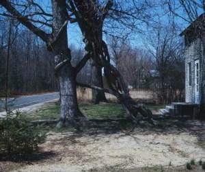 Vine taking over tree