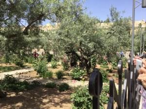 Olive trees and hollyhocks