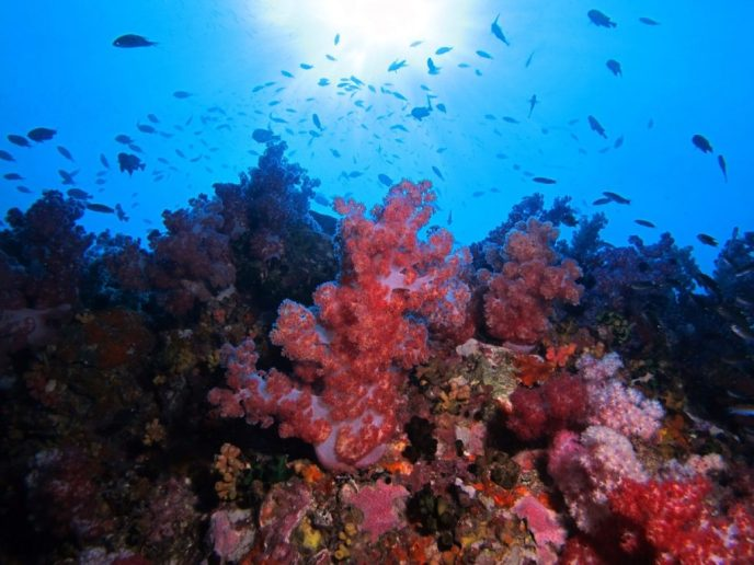 Corals and Sea Life around Koh Lipe Island, Satun Province, Thailand