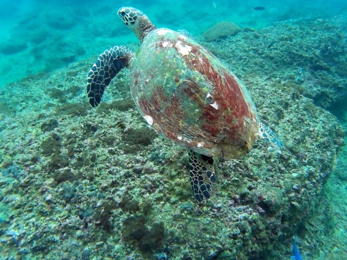 Many turtles to be seen around the phi phi islands