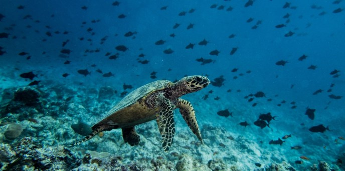 sea turtle during scuba diving on the Maldives