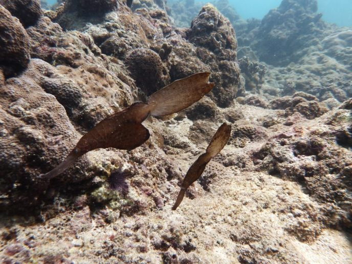Ghost Pipe Fish during scuba diving Phuket, Thailand
