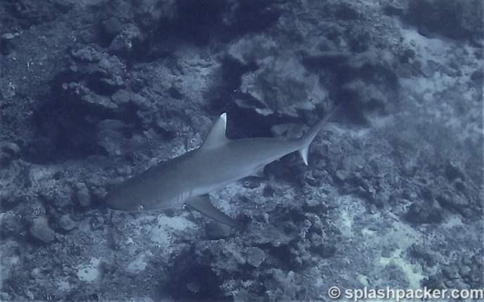 reef shark scuba diving Veligandu Resort Atoll in the Maldives