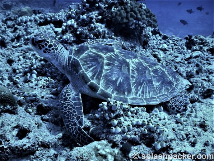 Turtle scuba diving Veligandu Island Resort, Maldives