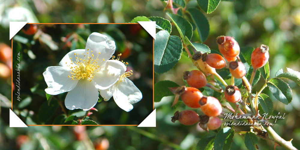 rosa-abyssinica