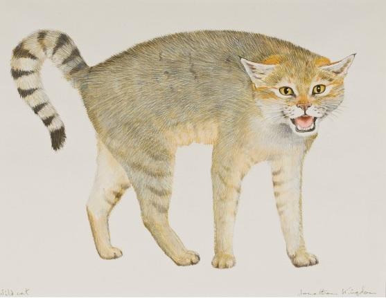 Wild Cat pic 1