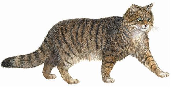 Wild Cat pic 2