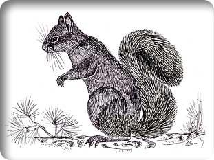 persiansquirrel2