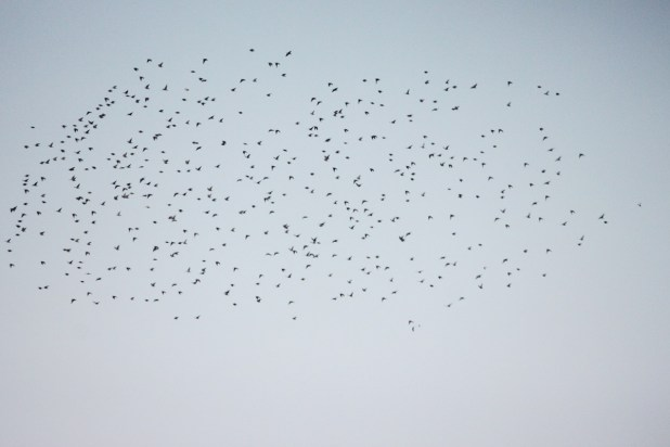 Starling-3
