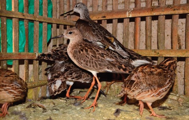 Waders and Quail await sale at an Egyptian market