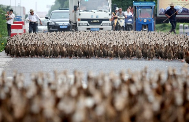 Mandatory Credit: Photo by Imaginechina / Rex Features (1741265d) A Chinese farmer drives about 5,000 ducks to a pond 5,000 ducks block traffic on their way to feed in Zhejiang province, China - 17 Jun 2012 A Chinese farmer and his assistants drove about 5,000 ducks from their farm to a pond one kilometer away to look for food. All the vehicles and pedestrians stopped on a road to make way for the duck migration. The ducks often pass through the road to the pond to look for food, but not merely a duck was lost over the past more than half a year, according to the farmer surnamed Hong.